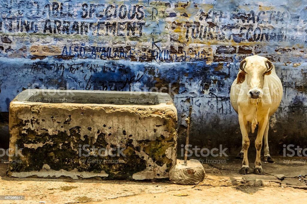 Starving Cow In The Blue City Of Jodhpur stock photo