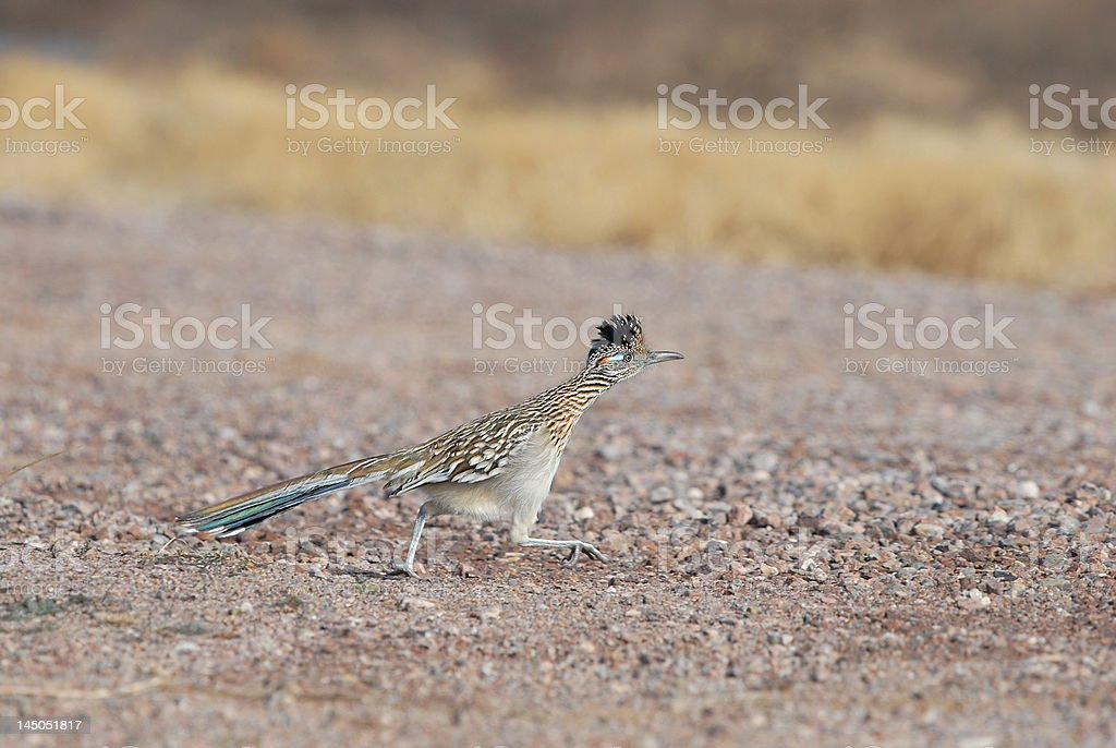 State Bird of New Mexico royalty-free stock photo