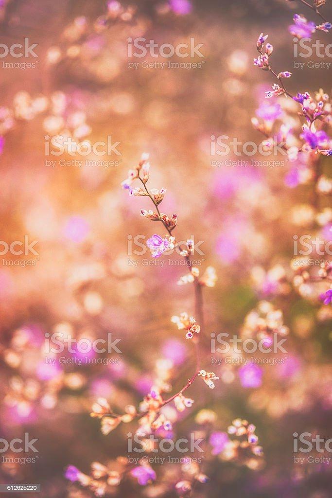 Statice sea lavender flowers on growing bush in warm sunlight stock photo