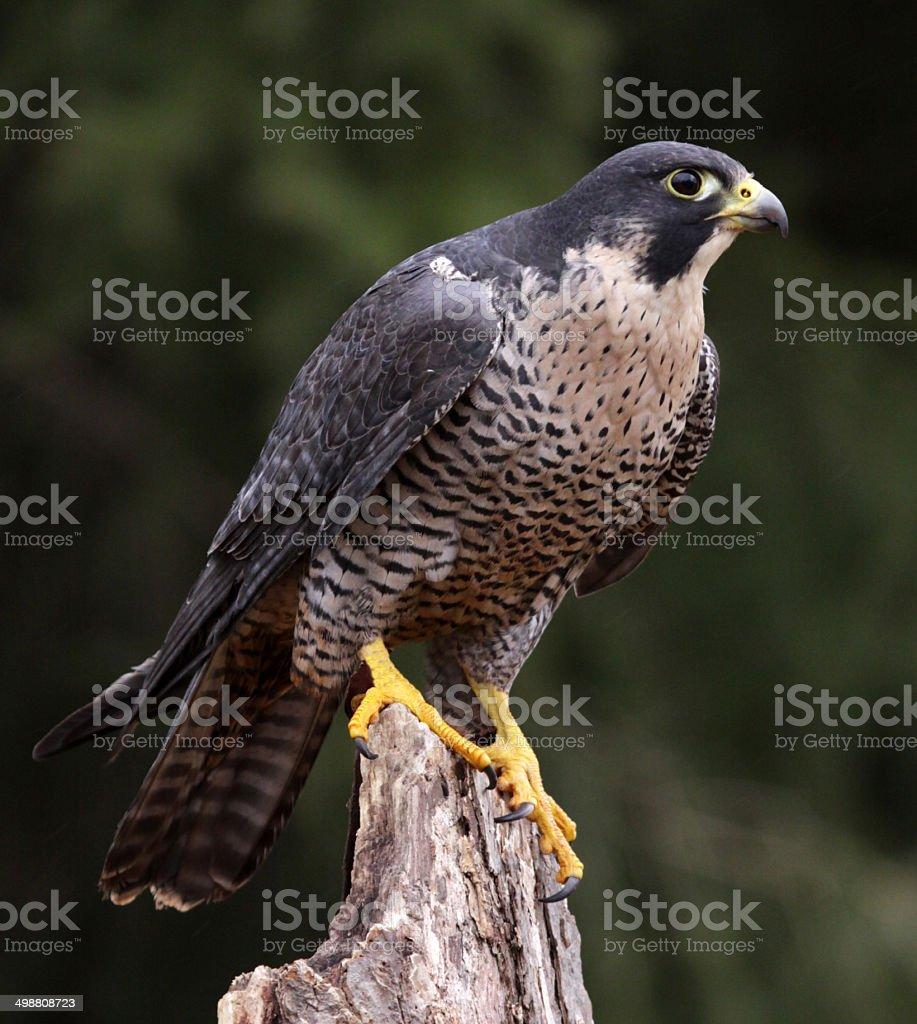 Stationary Peregrine Falcon stock photo