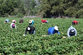 Stawberry Harvest in Central California
