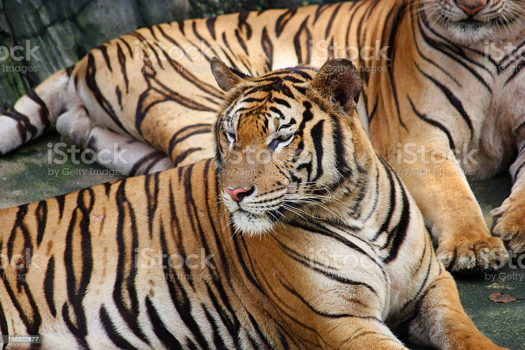stare tiger royalty-free stock photo