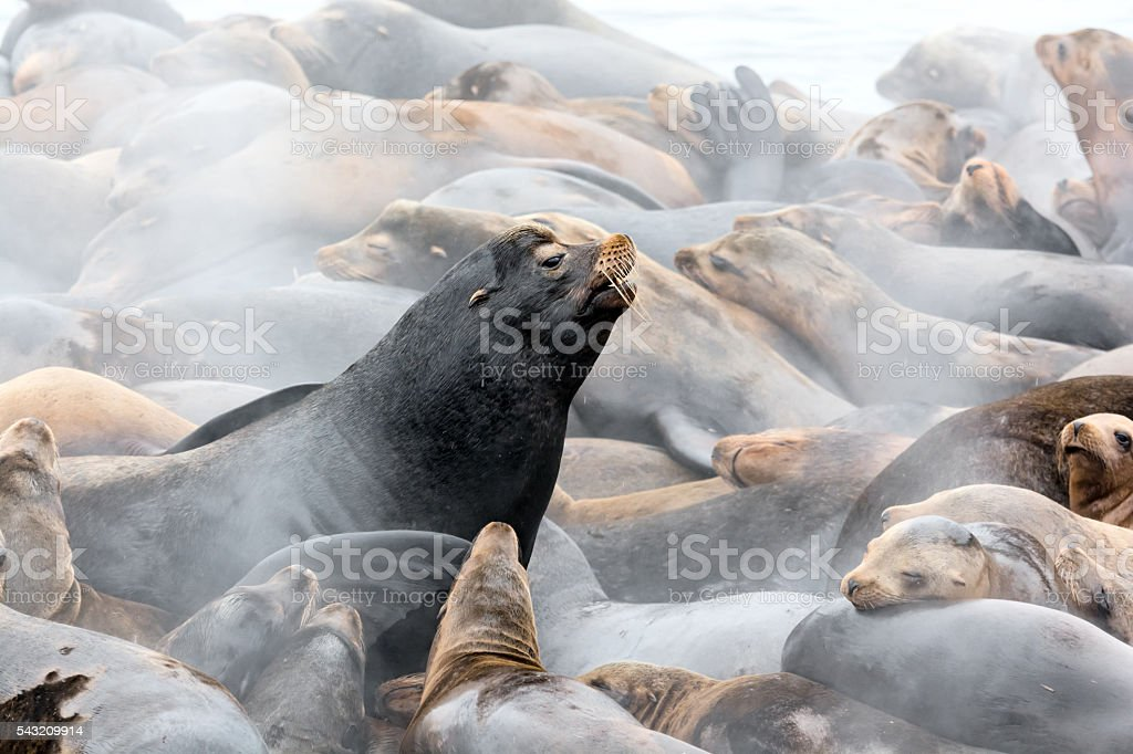 Steam Rising from Sea Lions in the Early Morning stock photo