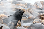 Steam Rising from Sea Lions in the Early Morning