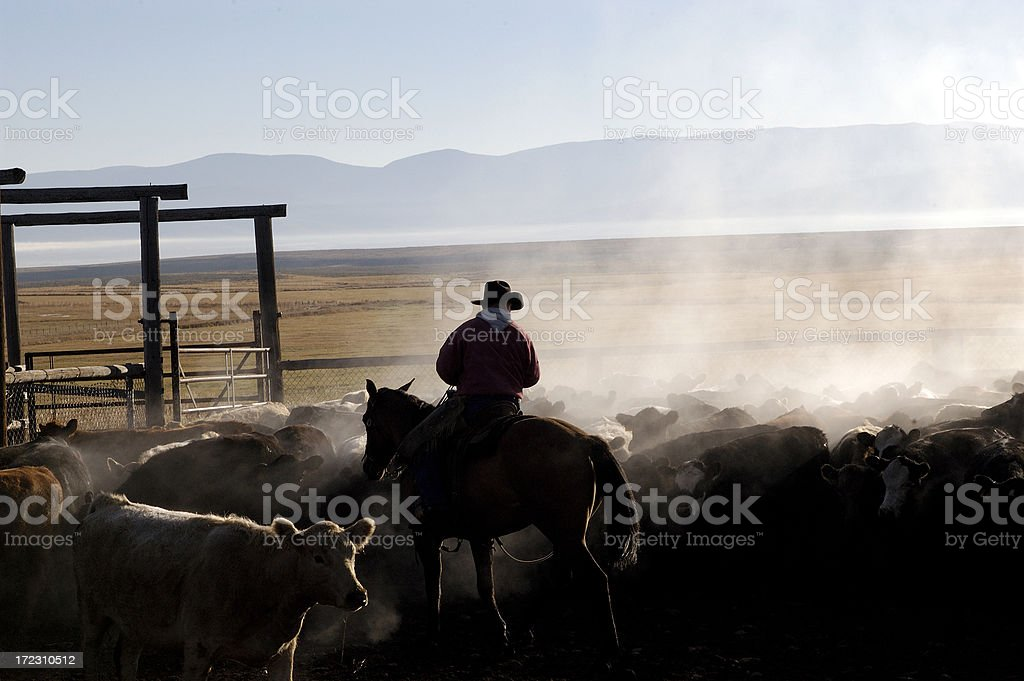 Steaming Cattle stock photo