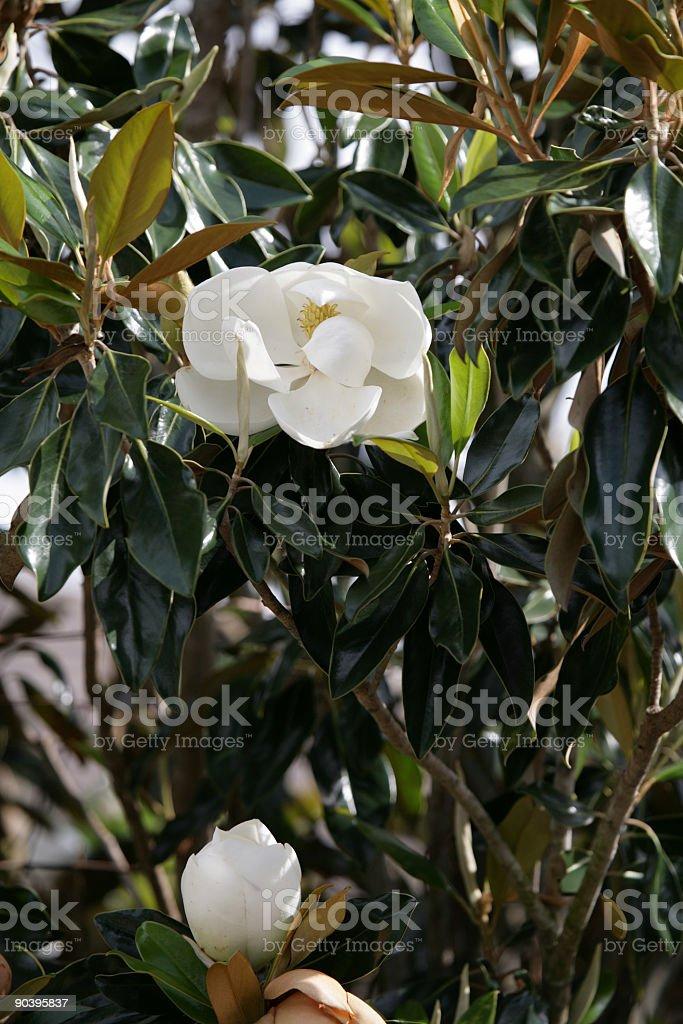 Steel Magnolia Bloom stock photo