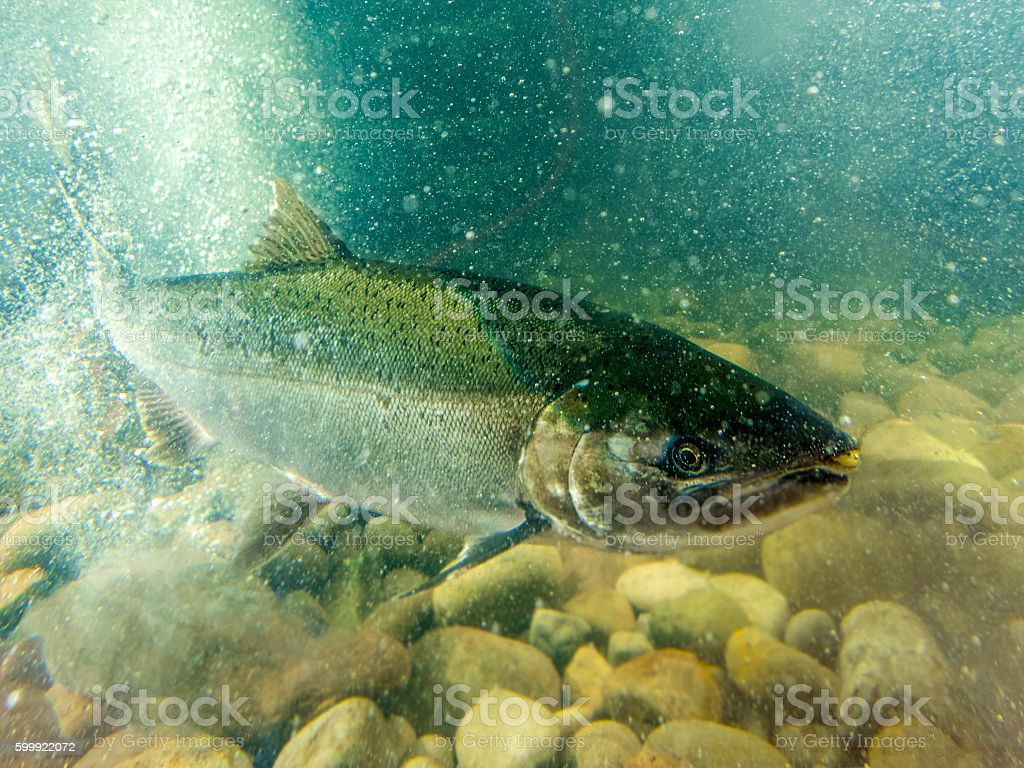 Steelhead Trout Swimming in Tank Air Bubbles in the Water stock photo