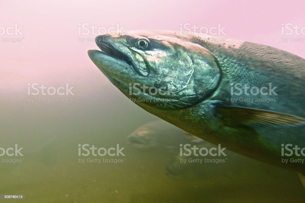 Steelhead Trout Swimming with Pink Back Light in the Water stock photo