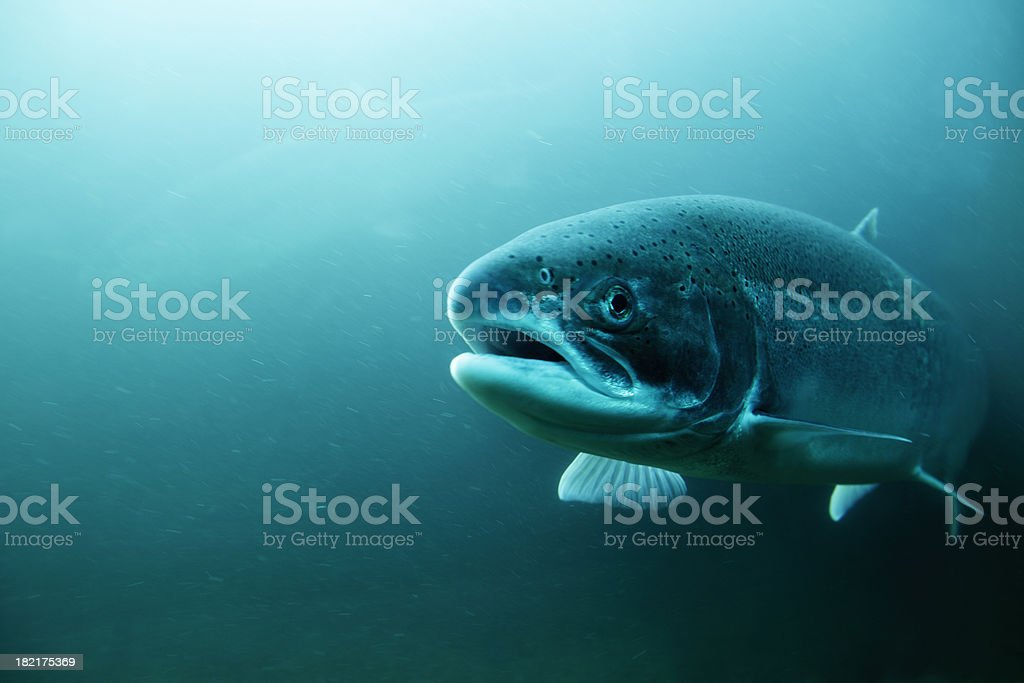 Steelhead Trout underwater. stock photo