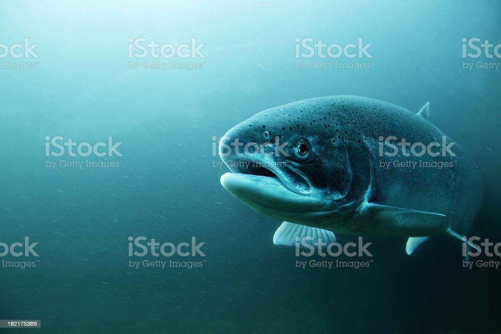 Steelhead Trout underwater. stock photo