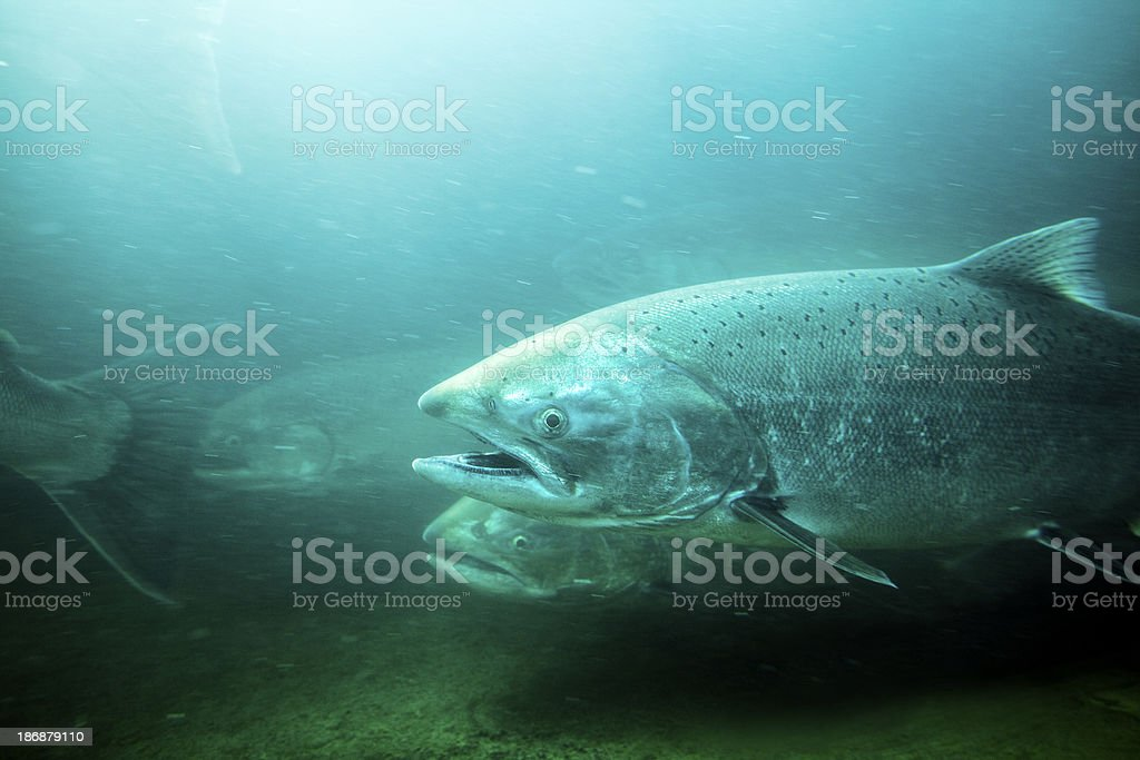Steelhead Trout Underwater River. stock photo