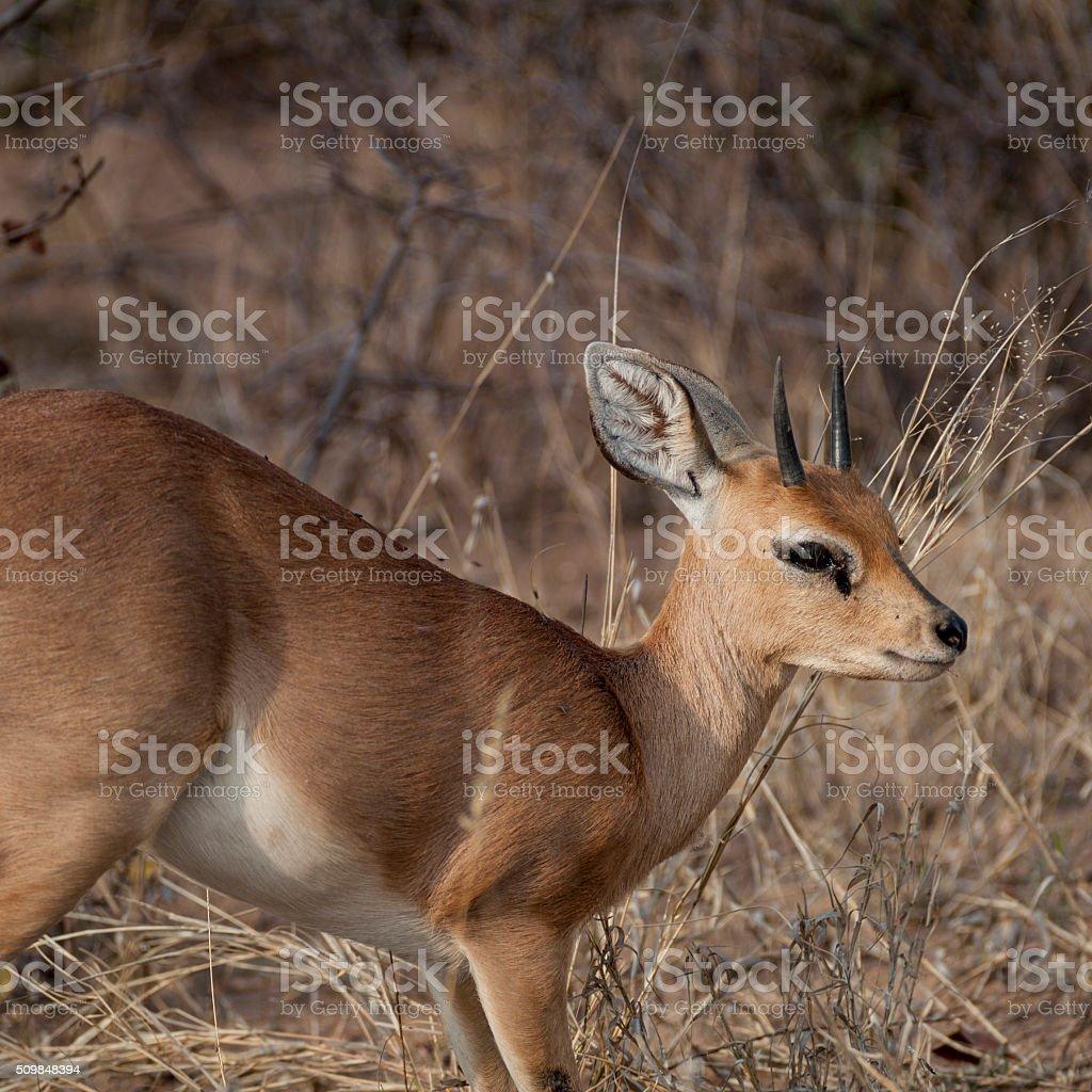 steenbock stock photo