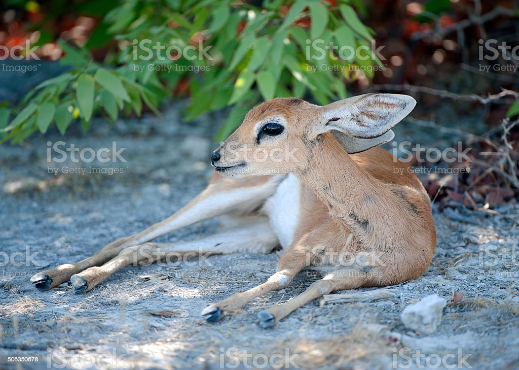 Steenbok female, Etosha National Park, Namibia, Africa stock photo