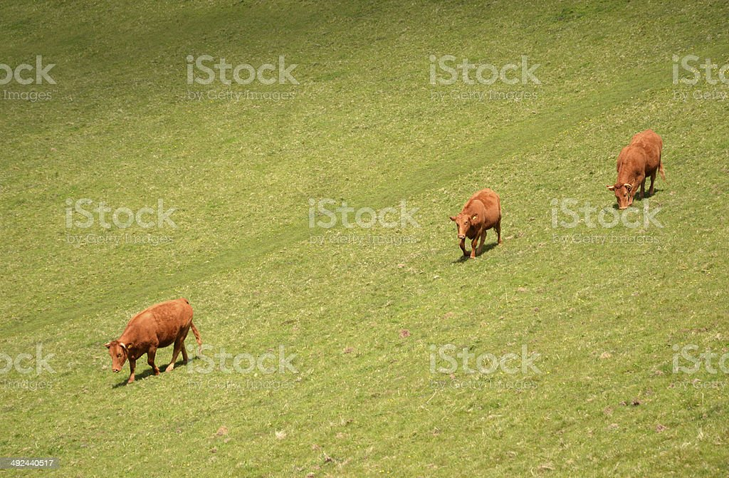Steep Slope Cows stock photo