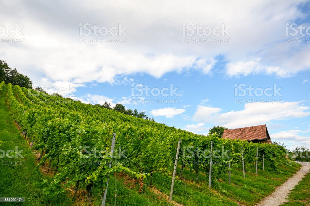 Steep vineyard next to a walkway with old hut near a winery in the tuscany wine growing area, Italy Europe stock photo