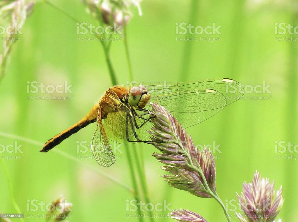 Steepe insect royalty-free stock photo