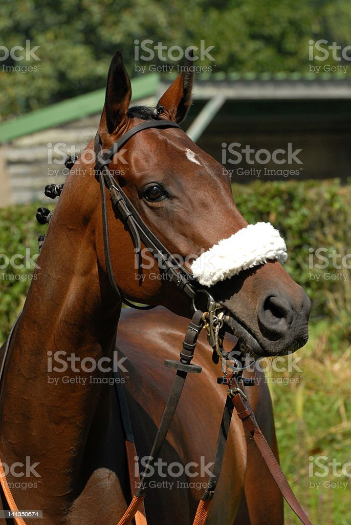 steeple-chase horse portrait stock photo