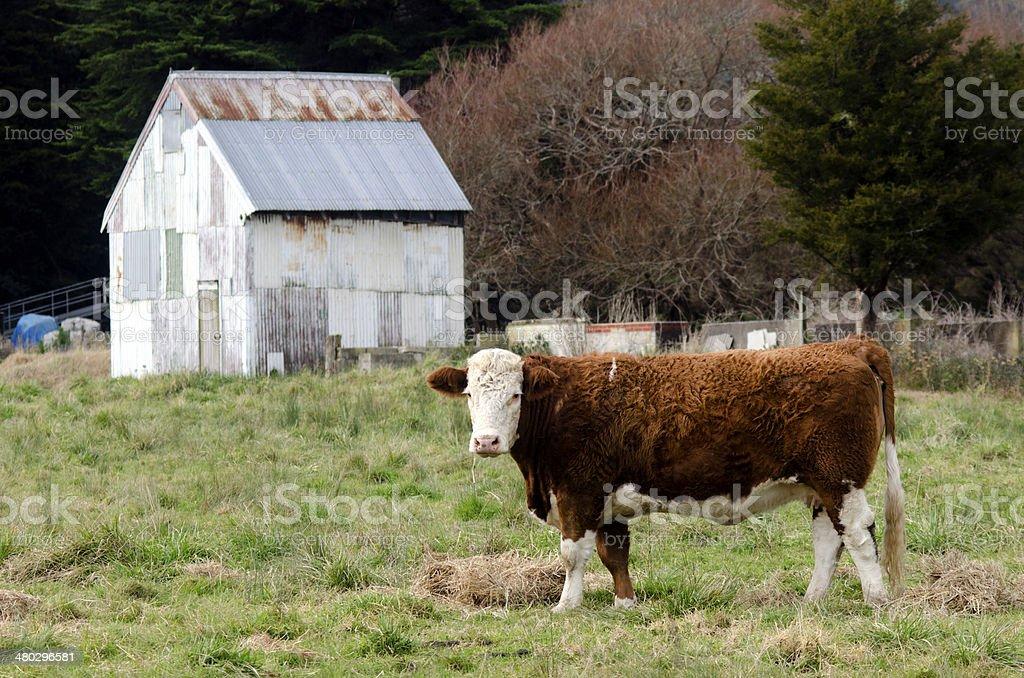 Steer bull stock photo