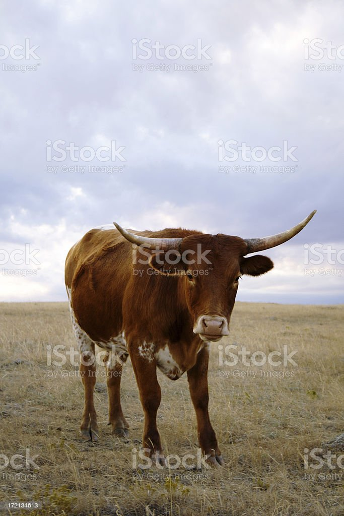Steer in the Field royalty-free stock photo
