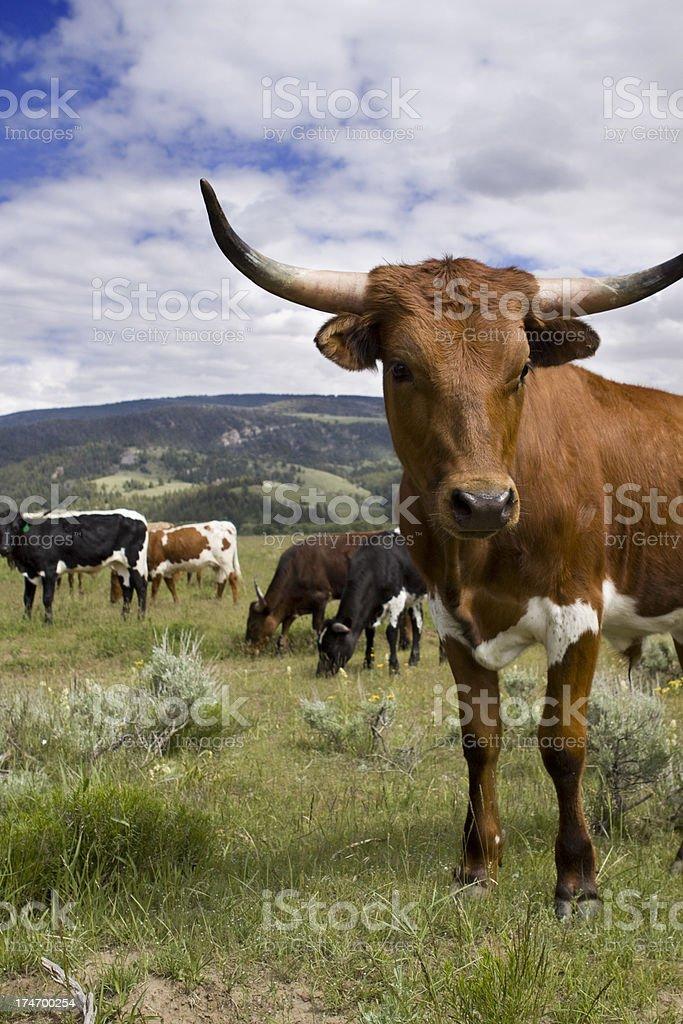 Steer in Wyoming royalty-free stock photo