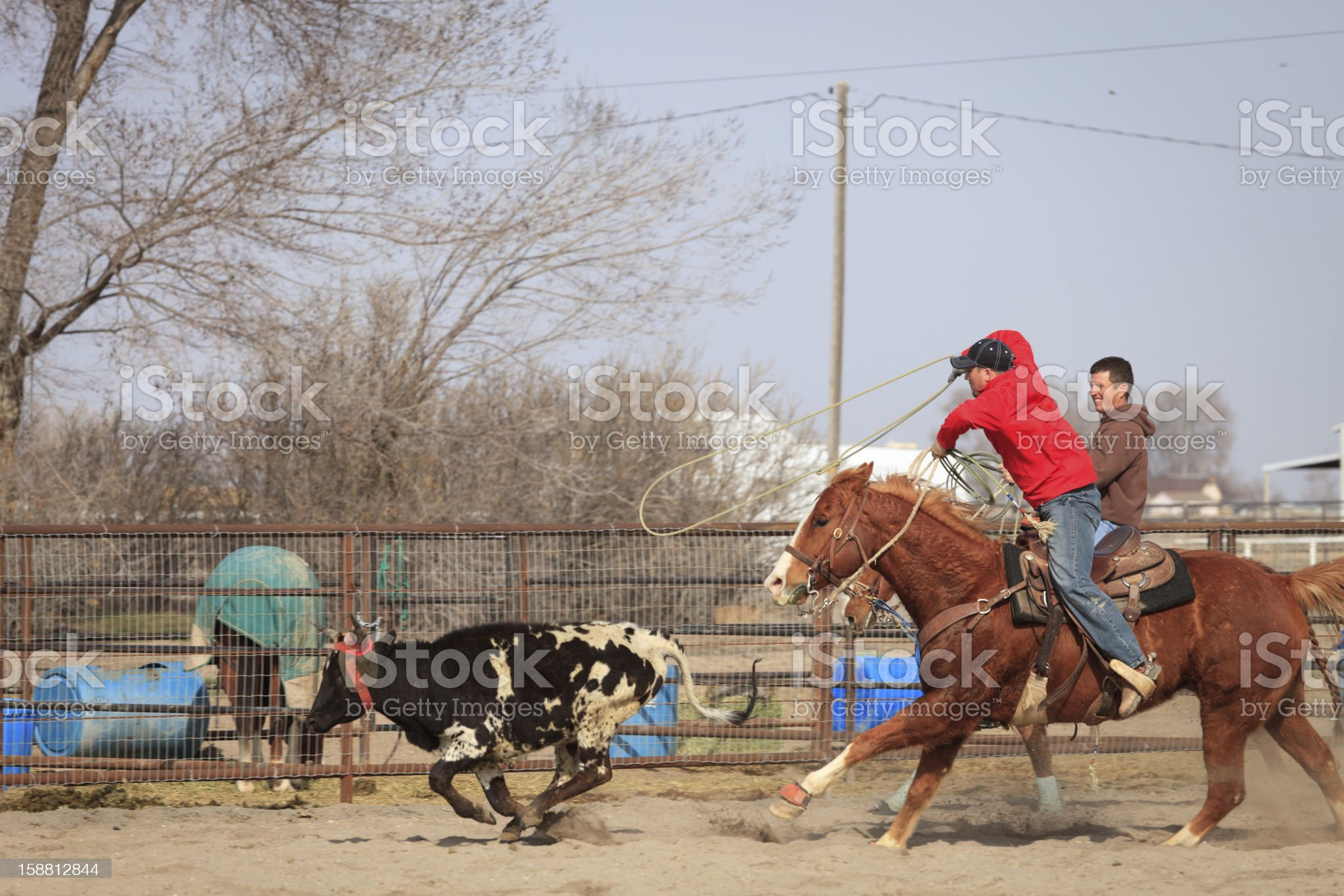 Steer Roping royalty-free stock photo