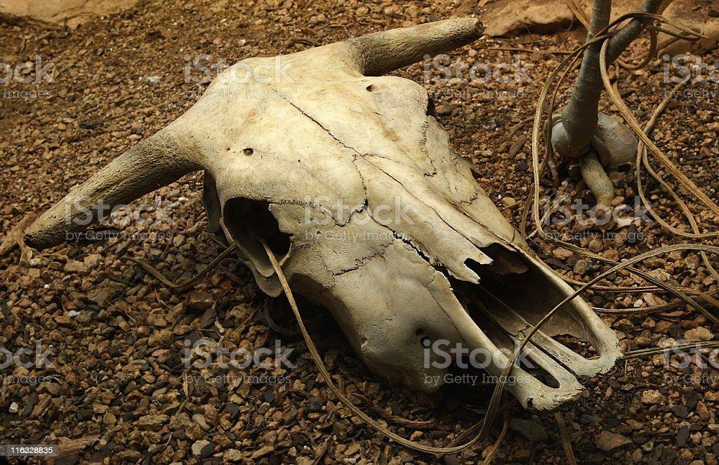 Steer Skull Bone Horns royalty-free stock photo