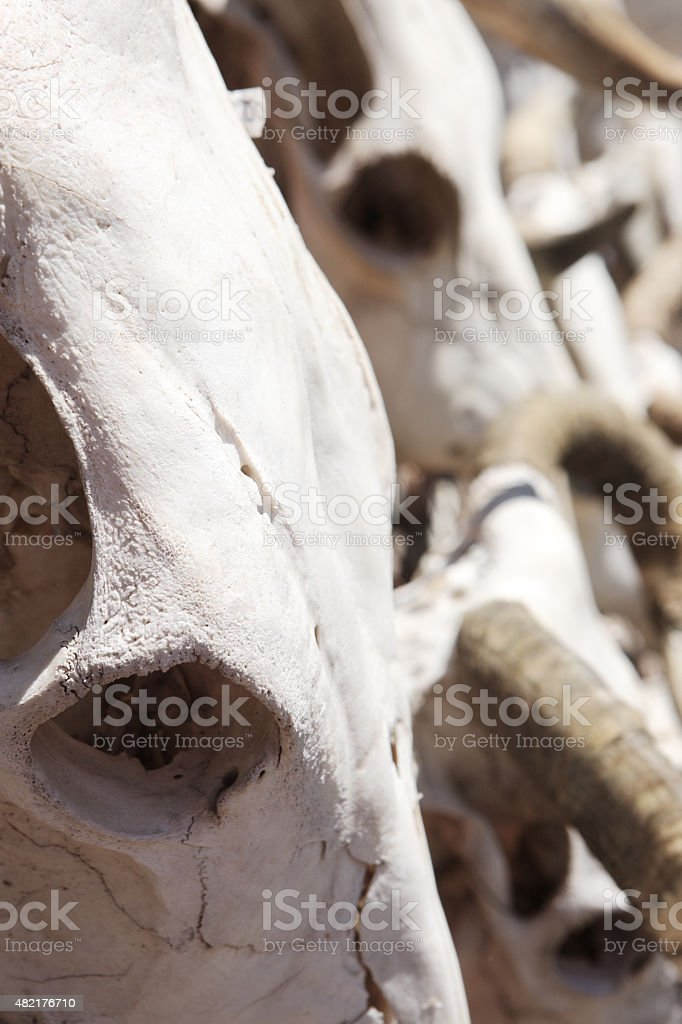 Steer Skull Skeleton Bone stock photo