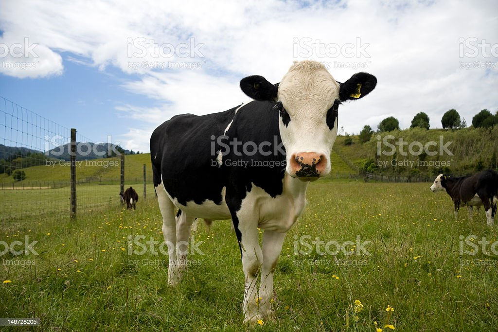 Steer's looking at you stock photo