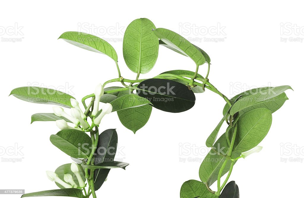 Stefanotis flower on white background stock photo