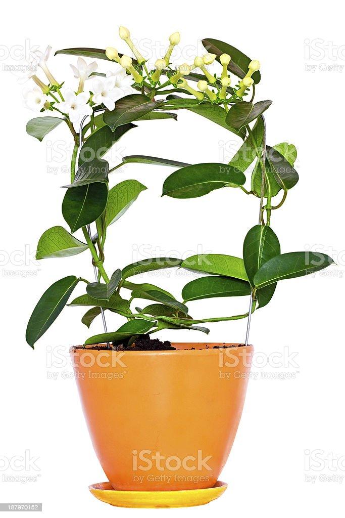 Stefanotis flower stock photo