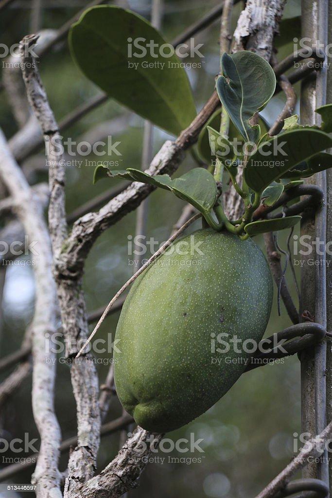 Stefanotis seed pod green and full stock photo