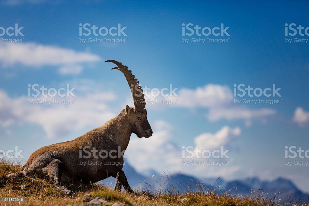 Steinbock - Alpine Ibex in front of Funtenseetauern , Alps stock photo