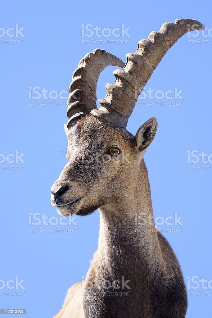 Steinbock - Alpine Ibex royalty-free stock photo