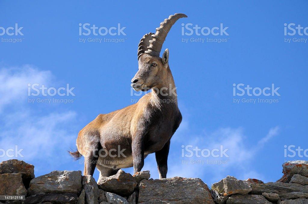 Steinbock Alpine Ibex standing upon rocks below a blue sky stock photo