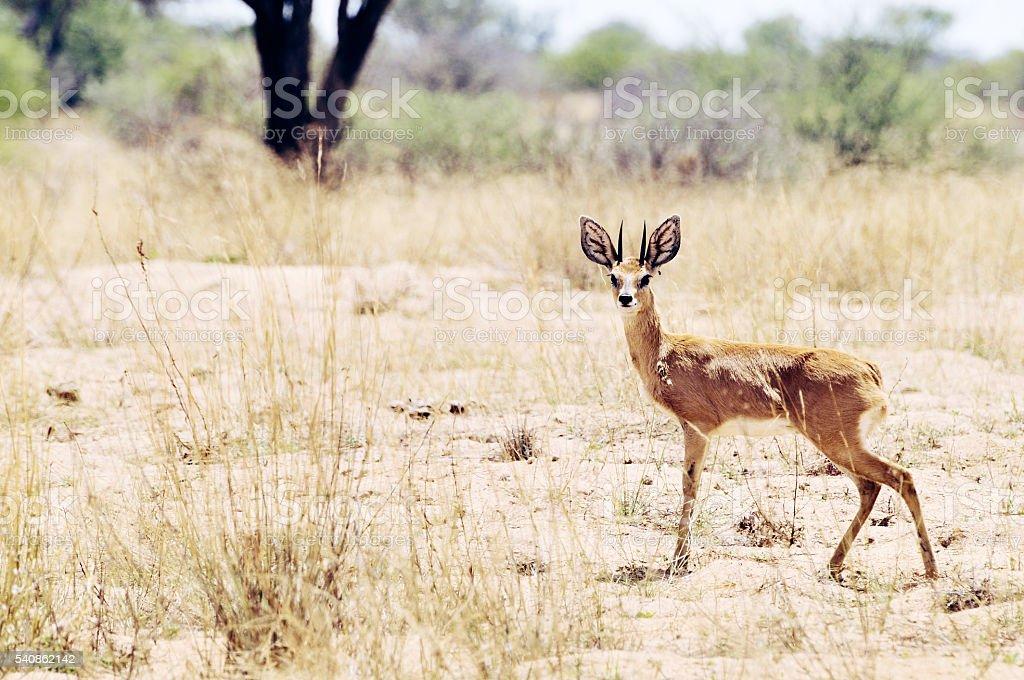 Steinbuck  antelope looking at camera, in Etosha National Park,Namibia. stock photo