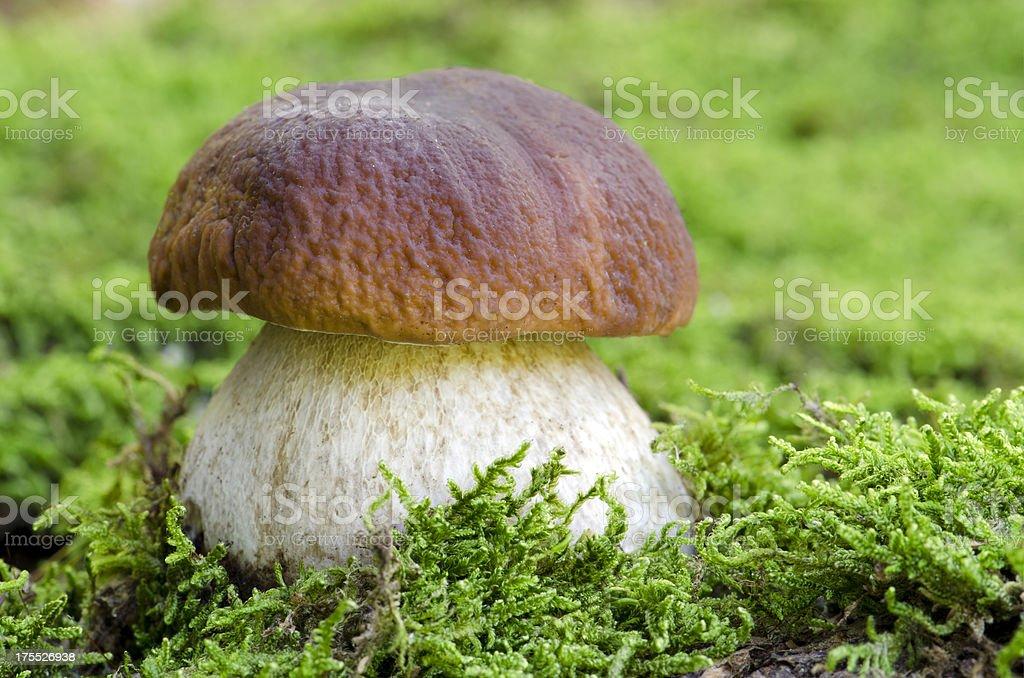 Steinpilz (boletus edulis), Porcini mushroom stock photo