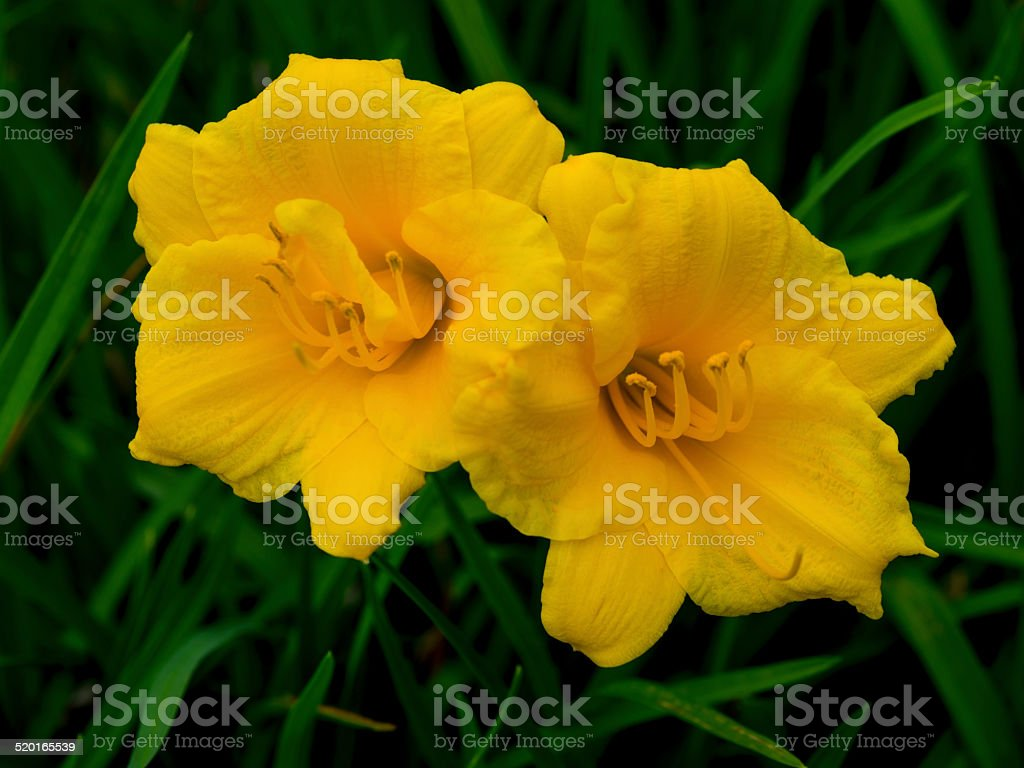 Stella de Oro Day Lilly (Hemerocallis) Flower stock photo