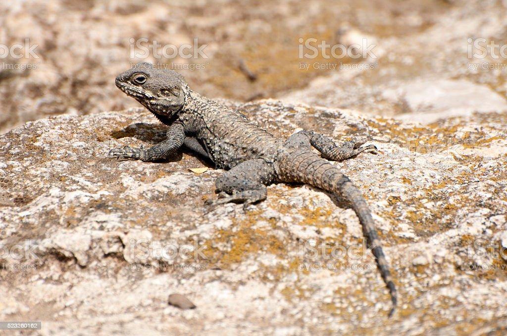 Stellagama stellio, lizard stock photo
