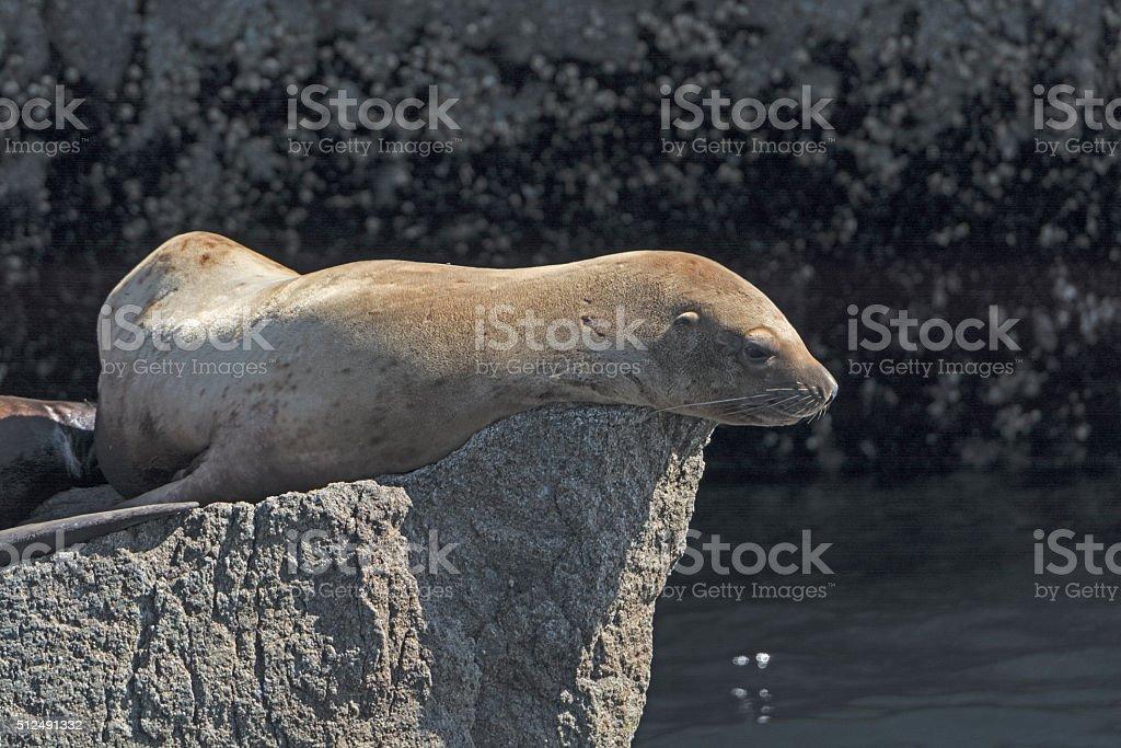 Stellar Sea Lion on a Rock stock photo