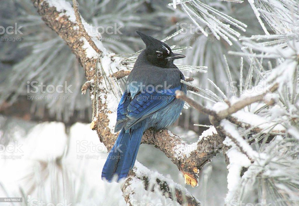 Stellar's Jay in Winter stock photo