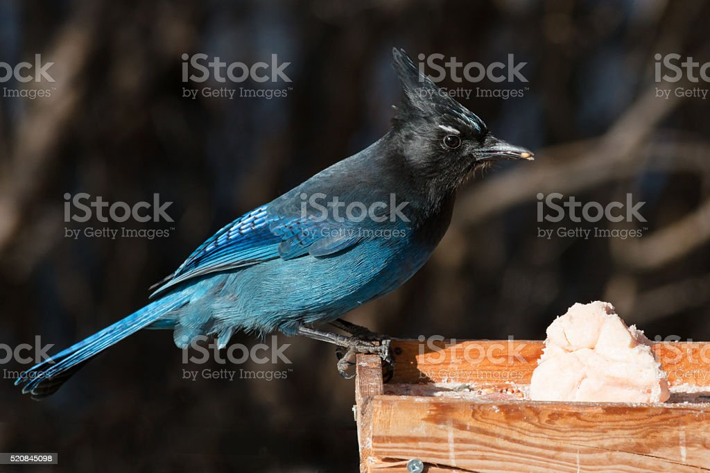 Stellars' Jay stock photo