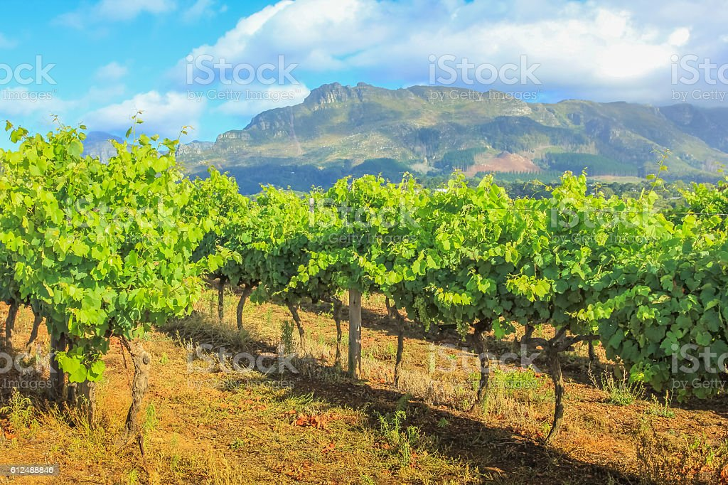 Stellenbosch Vineyards South Africa stock photo