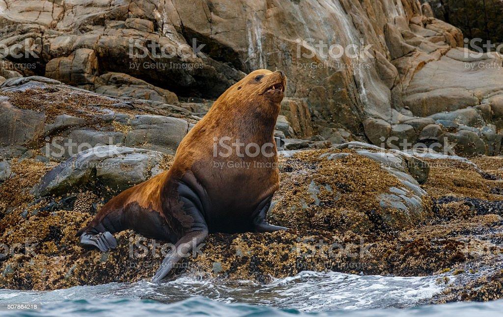 Steller Sea Lion Bull stock photo