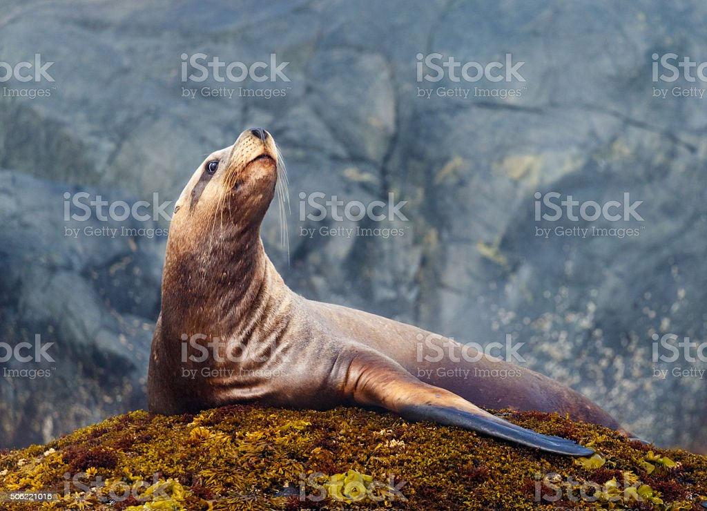 Steller Sea Lion stock photo