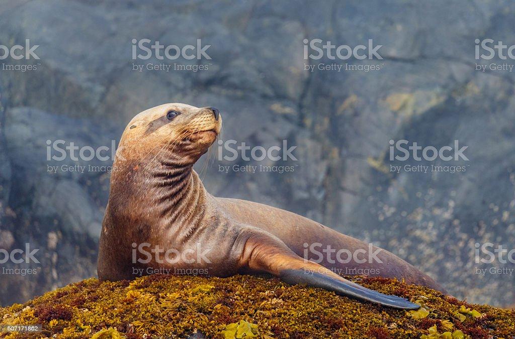 Steller Sea Lion stock photo