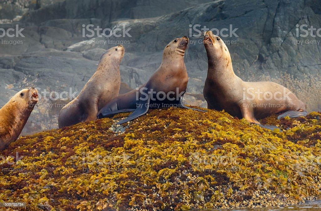 Steller Sea Lions stock photo