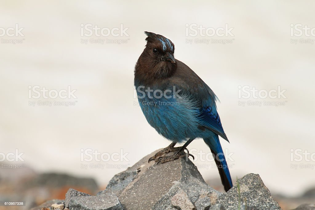 Steller's Jay at Crater Lake stock photo