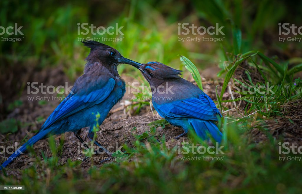 Stellers Jay Bird Feeding stock photo