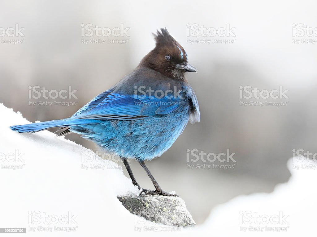 Steller's Jay (Cyanocitta stelleri) bird in a snow stock photo