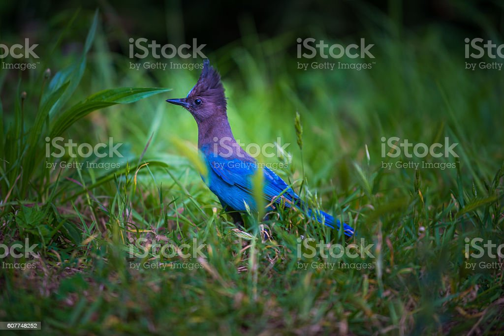 Stellers Jay Bird stock photo